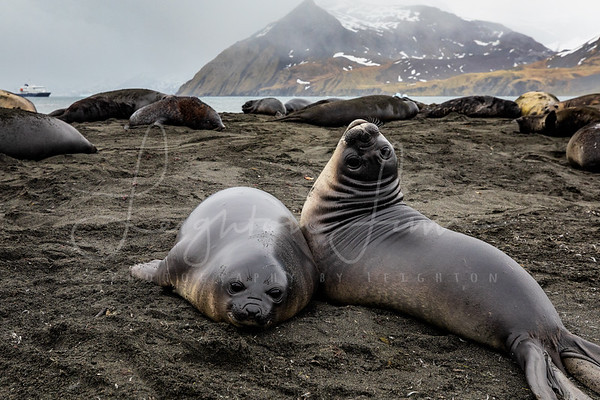 Baby Elephant Seals in  Gold Harbor