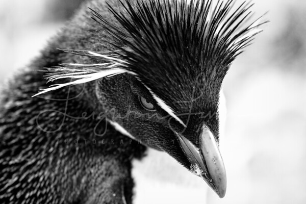 BNW Rock Hopper portrait
