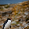 Rock Hopper Penguin 3