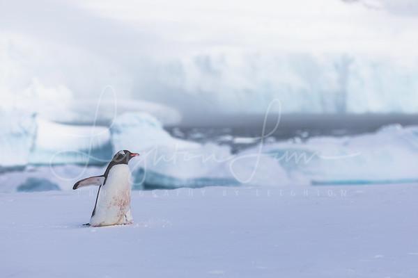 Arctic Loner