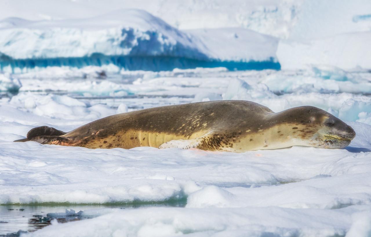 Seal sleeping in Antarctica