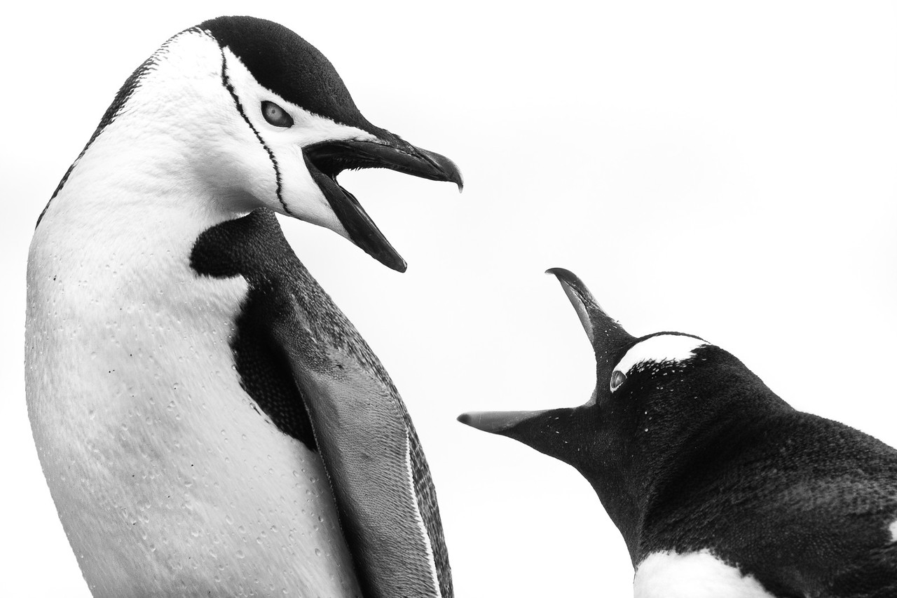 antarctica chinstrap penguin photo