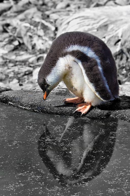 penguin antarctica
