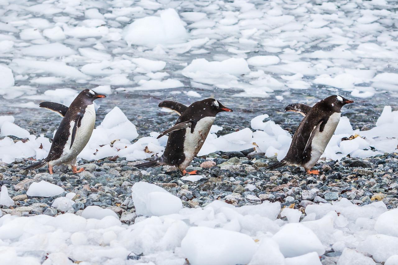 The Penguin highway in Antarctica.