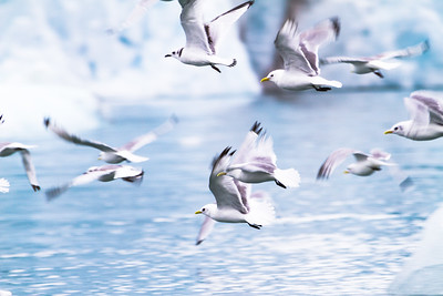 Kittiwakes in flight
