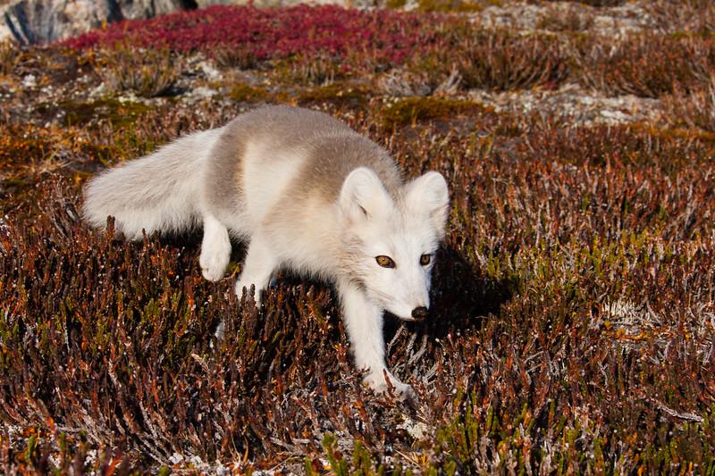 Arctic Fox, Stalking