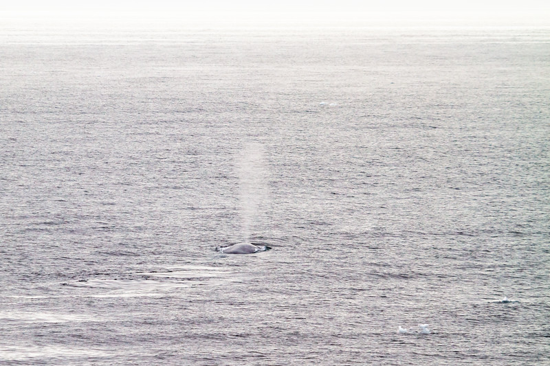 A blue whale surfaces in the Greenland Sea