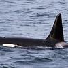 Orca Alpha Male