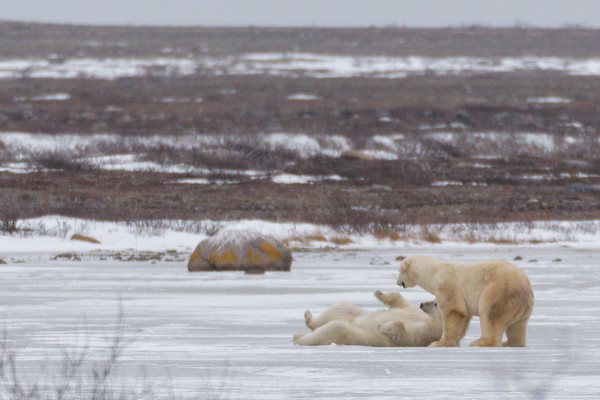 """Churchill is the only known area where polar bears playfight (or """"spar""""), as they wait for the Hudson Bay to freeze.<br /> <br /> Churchill Wildlife Management Area"""