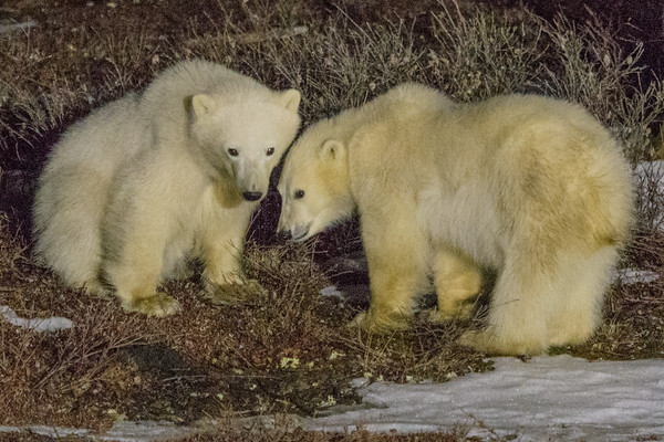 These two 10-month old cubs and their mother walked up to investigate our lodge one evening.   <br /> <br /> Great White Bear Lodge, Churchill Wildlife Management Area