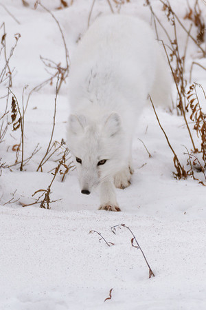 Arctic fox<br /> <br /> Churchill Wildlife Management Area