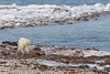 At this time of year, many of the Western Hudson Bay population of polar bears gather around the shoreline waiting for the seawater to freeze so that they can start hunting seals again after being forced to fast over the summer once the bay ice melted.   <br /> <br /> Churchill Wildlife Management Area