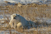 We understood from our guide that this bear was holding in its mouth the remnants of a polar bear cub that had died a few days previously.<br /> <br /> Churchill Wildlife Management Area