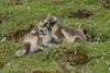 Arctic Fox cubs, Alkhornet