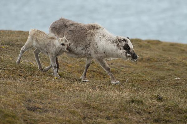 Reindeer, Alkhornet