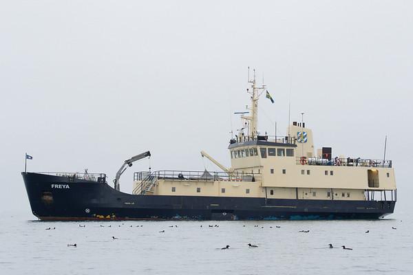 Little Auks in front of our ship, M/S Freya, Bjornsunfet