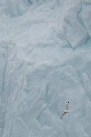 Blacked-Legged Kittiwake, Monaco Glacier, Liefdefjord