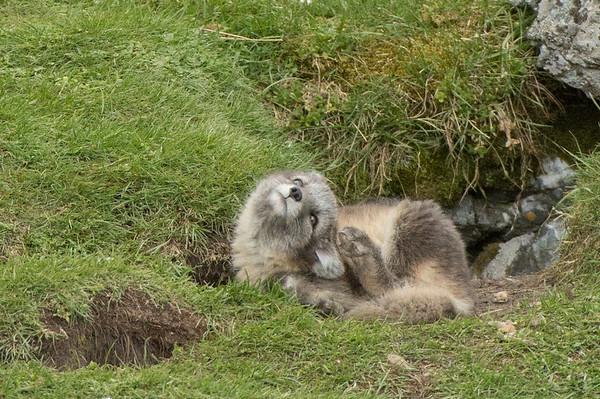 Arctic Fox cub, Alkhornet