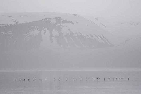 Brunnich's Guillemots, Hinlopen Strait