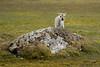 Reindeer calf, Alkhornet