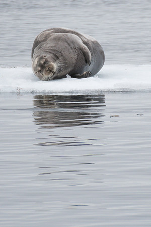 Bearded Seal, Hinlopen Strait