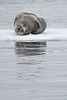 Bearded Seal, Hinlopen Strait