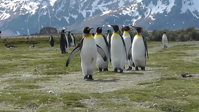 King Penguin Video, Salisbury Plain, South Georgia
