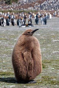 "Juvenile King Penguin (nicknamed ""Oakum Boy""), Salisbury Plain, South Georgia"
