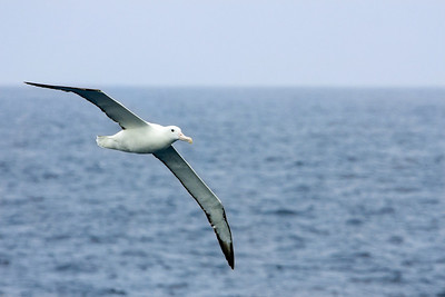Wandering Albatross following ship