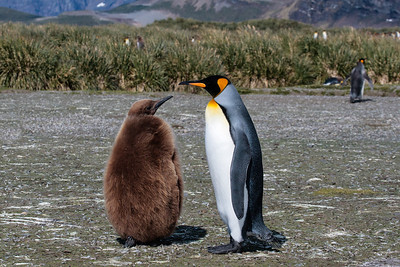 King Penguin Adult  and Juvenile, Salisbury Plain, South Georgia