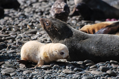 Antarctic Fur Seals with leucistic pup, Elsehul, South Georgia
