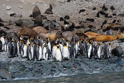 King Penguins and Antarctic Fure Seals on beach at Elsehul, South Georgia