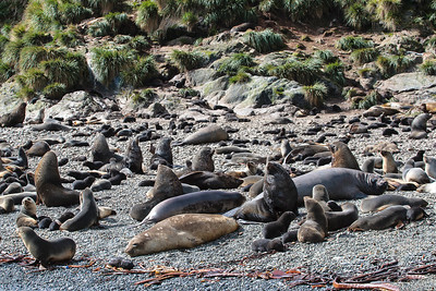 Antarctic Fur seals and Elephant Seals on the beach, Elsehul, South Georgia