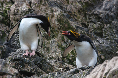 Macaroni Penguins, Elsehul, South Georgia