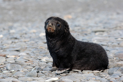 Antarctic Fur Seal Pup looking lost, South Georgia