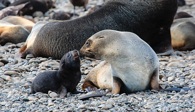 Antarctic Fur Seals with normal pup, Elsehul, South Georgia