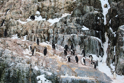 Chinstrap Penguins on Elephant Island, Antarctica