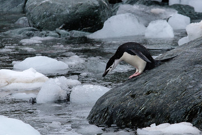 Chinstrap Penguin on Elephant Island, Antarctica