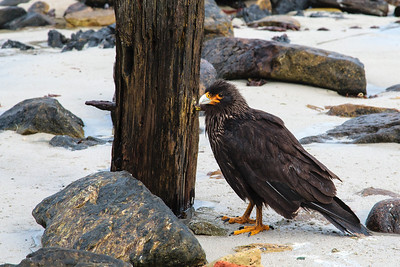 Striated Caracara (rare), Carcass Island, Falkland Islands