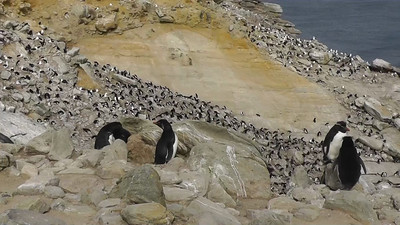 Huge Nesting Colony of Rockhopper Penguins, Black-browed Albatrosses, and Blue-eyed Shags, New Island, Falkland Islands