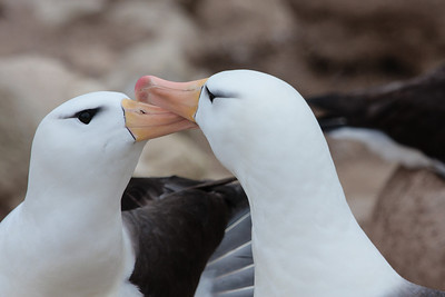 Black-browed Albatross, New Island, Falkland Islands