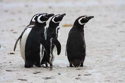 Magellanic Penguins, Carcass Island, Falkland Islands