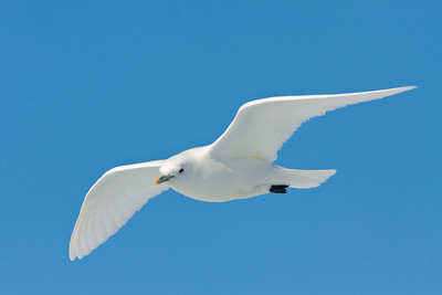 Ivory Gull, a true Arctic species that remains in the high Arctic year-around.