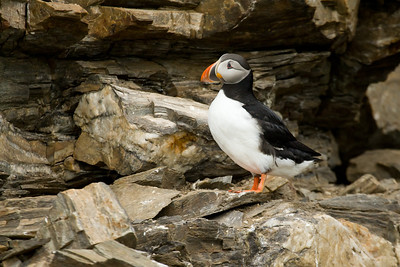 A classic Atlantic Puffin pose