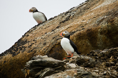 The Atlantic Puffin is not too common on Spitsbergen, which lies at the extreme north of its breeding range.