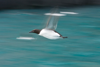 "Guillemot ""motion blur"" image, made by panning with an intentional slow shutter speed.  These birds are very fast flyers with extremely rapid wingbeats."