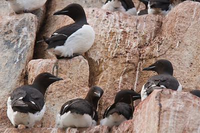 Closeup of Brunnich's Guillemots on their nests. Each bird lays a single pear-shaped egg. The oblong shape prevents the egg from rolling off the edge of the cliff.