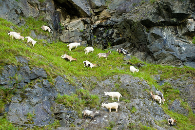 Goat and sheep farming on the hillsides is extensive outside Flam and other nearby villages on the fjord