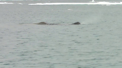 Walruses appearing to enjoy a cool swim as we came in on Zodiacs with cameras firing.