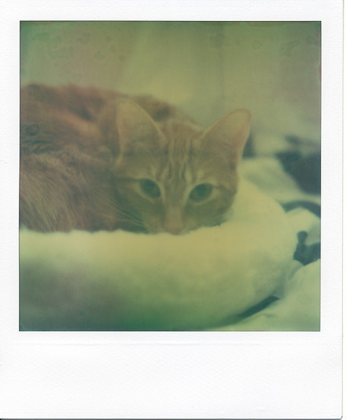 I take lots of photos of my cats because they're easy subjects, so why not feature them at least once for 'Roid Week? :)  Incidentally, when I first took this photo, the overall cast was a lot less green, almost looking like a faded, but normal Polaroid shot.  However, as the afternoon wore on, the green cast became a lot more pronounced.  Thought I should scan it now, lest it get even greener in a few hours!  Ah, expired film...<br /> <br /> Also, it's a lot harder to take candids of the cats with a Polaroid since the camera is so dang loud. :-/